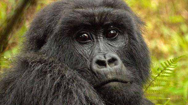 Gorilas en la niebla catai tours for Gorilas en la niebla