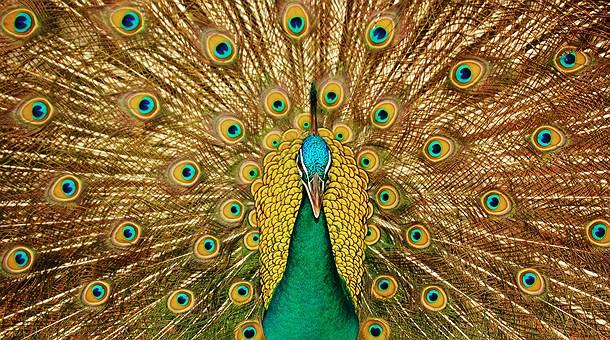 Peacock Art Photography Wallpaper Hq Backgrounds: Necesita Actualizar Flash