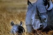 Black Rhino en el Crater del Ngorongoro