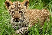 Cachorro de Leopardo en Serengeti