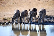 Cebras bebiendo