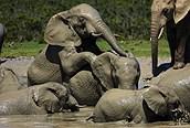 Elefantes en el barro