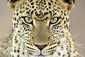 Hembra de Leopardo enfadada