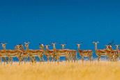 Impalas en el Serengeti
