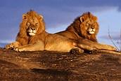 Leones en el Mara