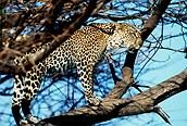 Leopardo en el arbol