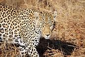 Leopardo en primer plano, Parque Kruger