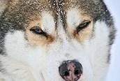 Perro husky, Laponia