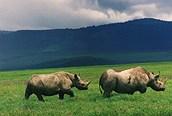 Rinocerontes negros en Ngorongoro