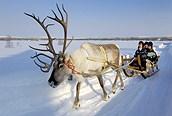 Safari de renos en Iso-Syöte, Laponia