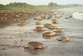 Tortugas eneTortuguero