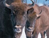 Bisontes en el Parque Bialowieza