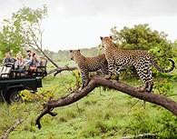Guepardos en el parque Kruger