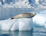 Leon marino en un pequeño iceberg