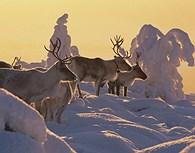 Renos en la nieve