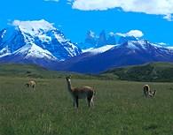 Vicuña en Torres del Paine